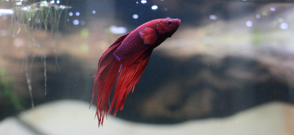 Betta Fish Care Guide Banner