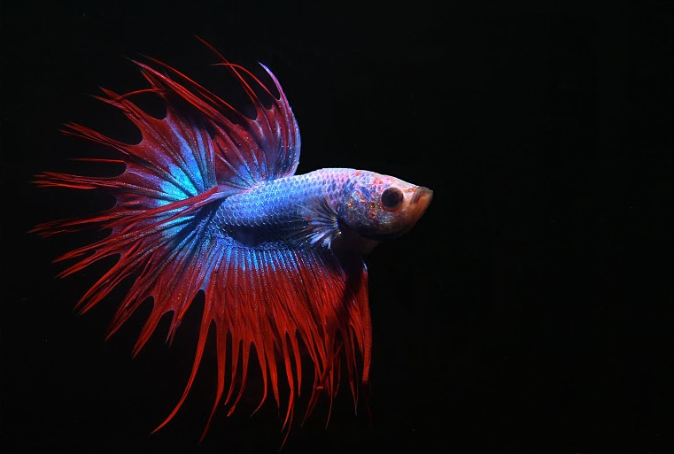 Male Crowntail